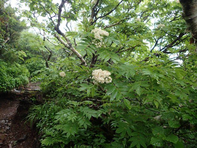 利尻島 樹幹の道