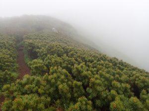 利尻島 頂上へ向かうハイマツの林
