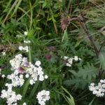 霧多布の花