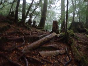 ヤクスギランド 土埋木