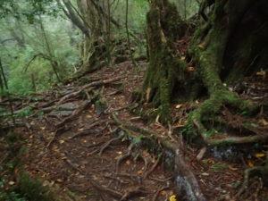 ヤクスギランド 登山道の杉の根