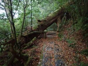 ヤクスギランド 伐採木