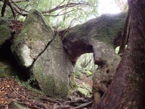 岩を抱える杉