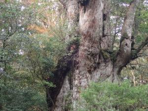 縄文杉の肌