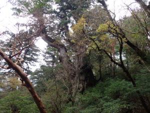 縄文杉(北デッキから)