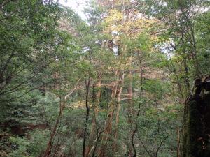 縄文杉近くの木立の中の紅葉