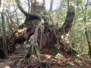 くぐり杉を上側から見る