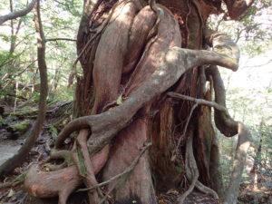 女神杉に着生する木の根