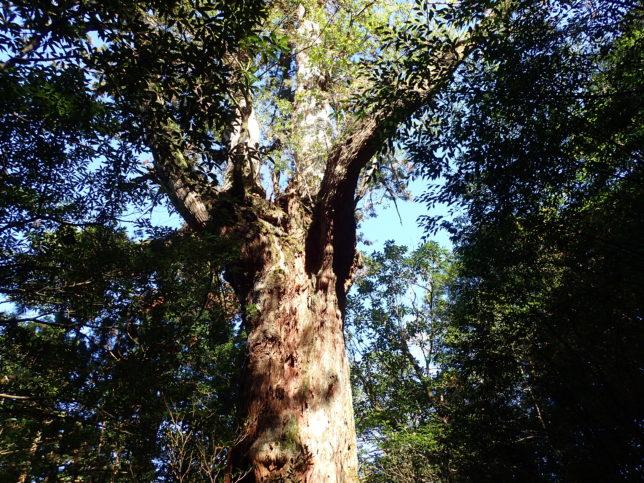 上部で枝が7本に分かれている