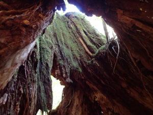 二代くぐり杉の空洞