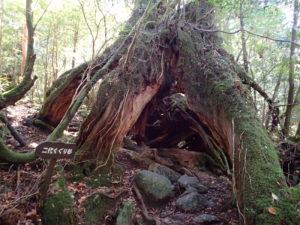 二代くぐり杉