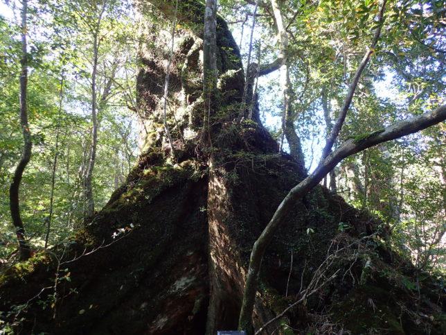 奉行杉コースのつがの大木