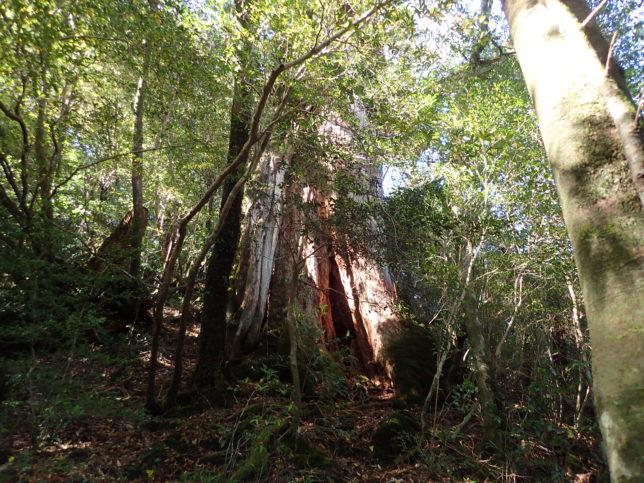 びびんこ杉