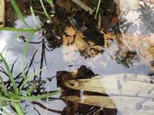 登山道の水たまりのオタマジャクシ