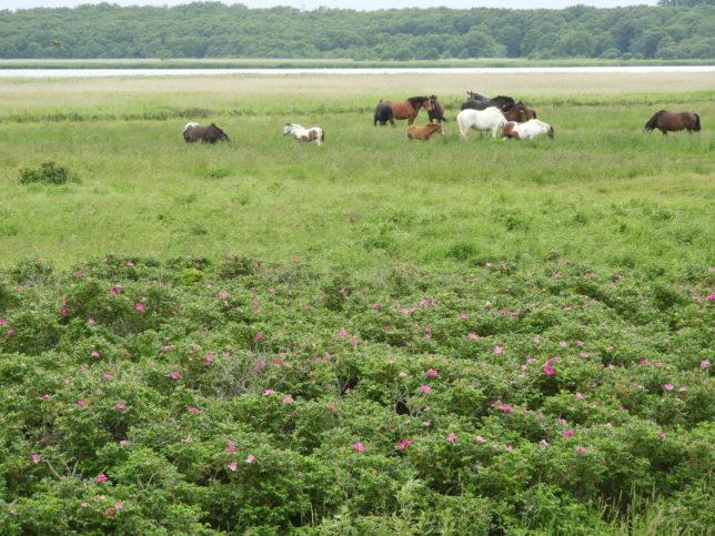 湯沸湖に放牧されている馬の群れ
