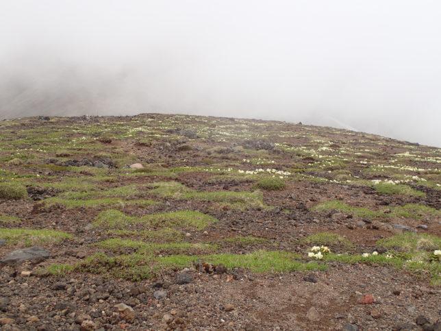 山頂付近のキバナシャクナゲの群落