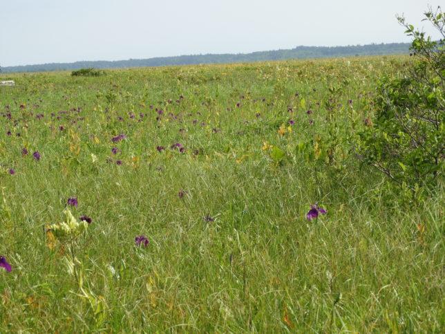 エゾカンゾウ、ノハナショウブなどのお花畑