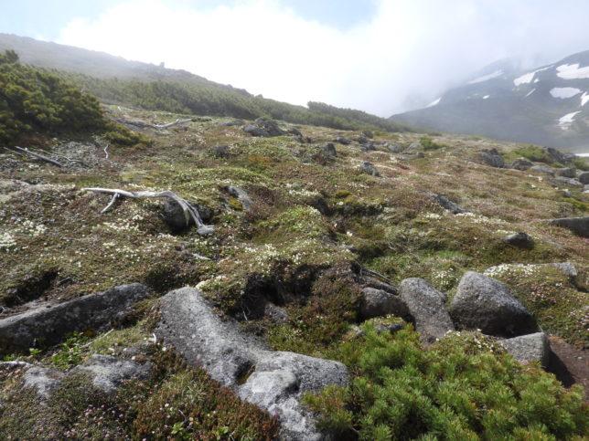 黒岳から石室に向かう山頂近くのお花畑