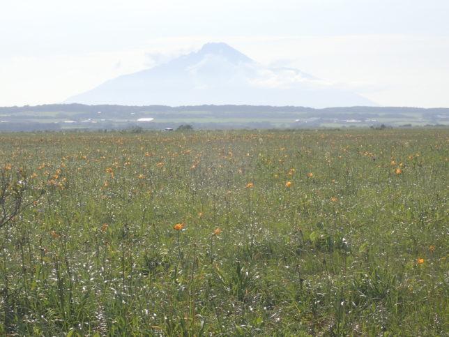 原生花園から利尻岳を望む