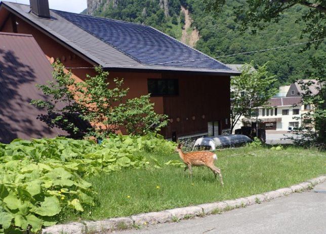 ロープウエイ層雲峡駅近くにいた鹿