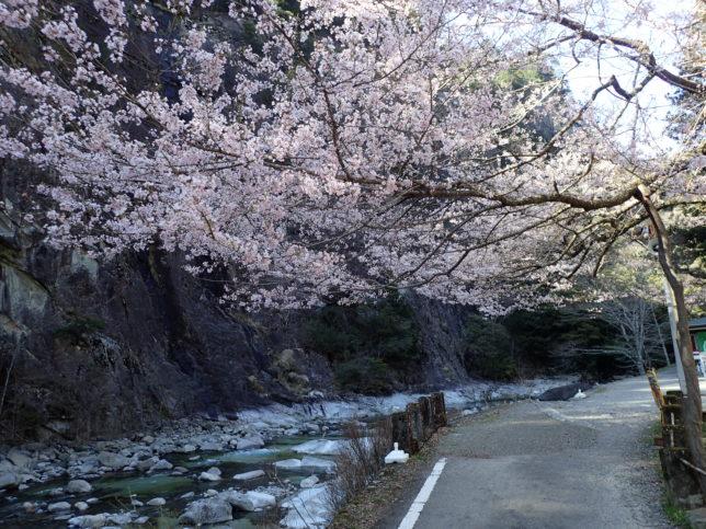 渓泉亭脇の桜